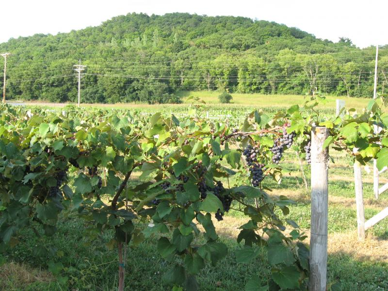 Vines in front of the Winery